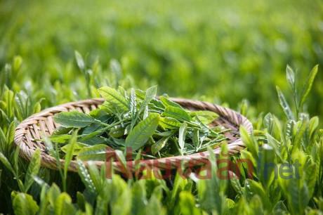Cách chữa dị ứng bằng trà xanh