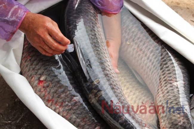 chọn cá ngon cho món cá hấp bia